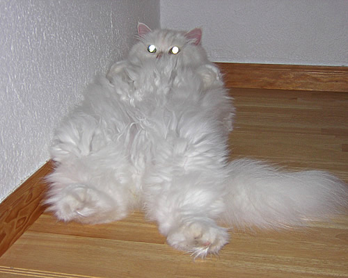 Very Fluffy Cat Cats Are Fluffy And so is my
